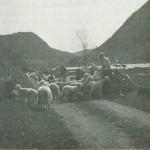 Sauer langs veien. Bildet er tatt omkring 1900.